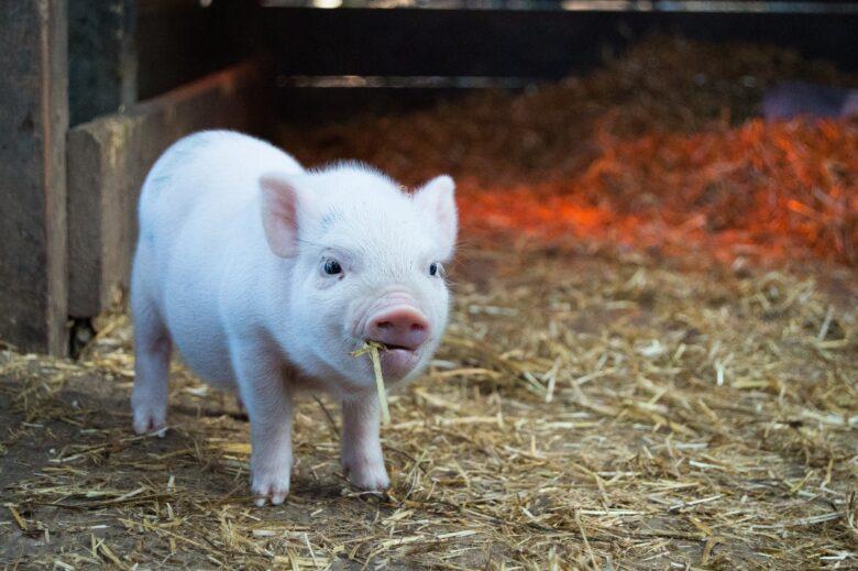 豚コレラの肉を食べたらどうなるの?危険性や人への感染影響まとめ